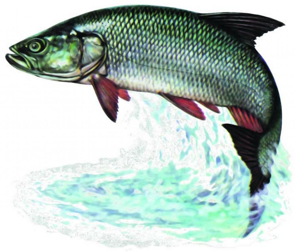 Natura 2000 kalaliigid alam pedja kaitsealal for P o fish